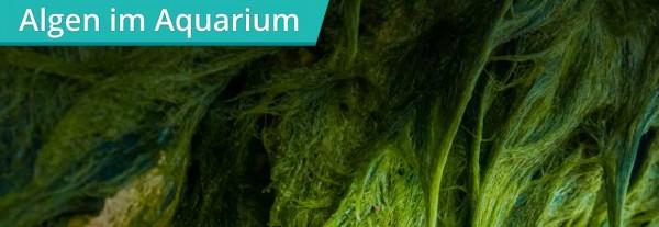 Algen-im-Aquarium-Aqua